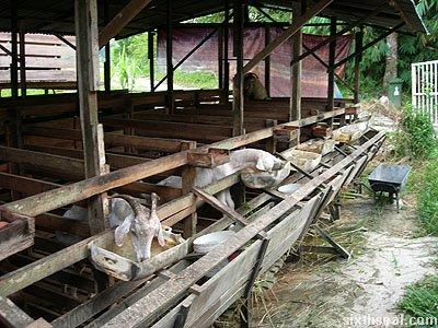 susu kambing farm