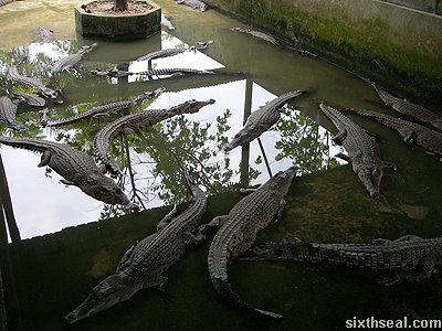 crocodile submerged