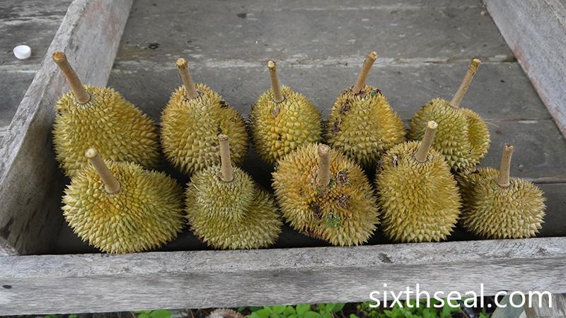 Bintagor Durian
