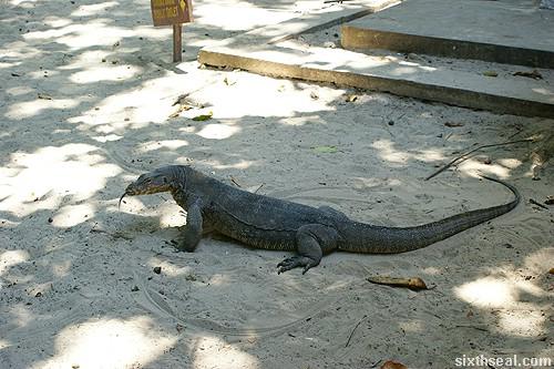 monitor lizard pulau sapi