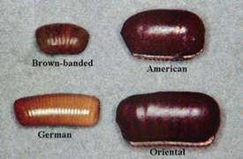 cockroach larvae