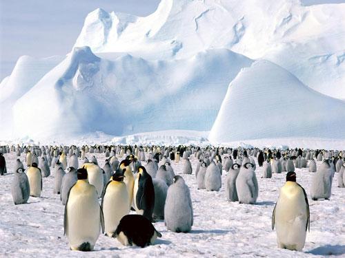 antarctica-emperor-penguin