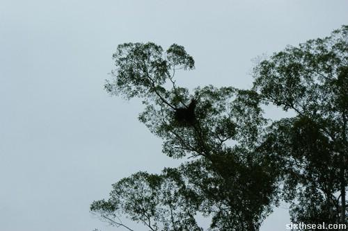 orang utan trees